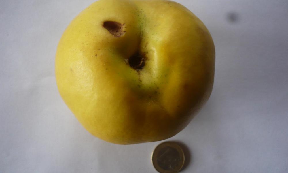 coing 'Aromatnaya'
