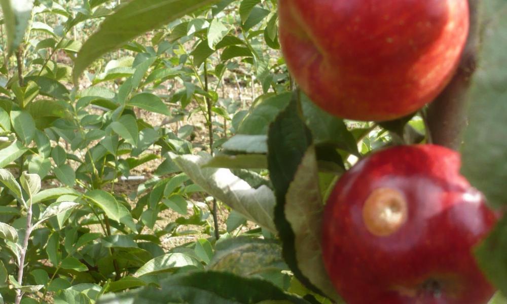 Pépinière pommiers